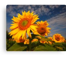 Sunflower morning 2 Canvas Print