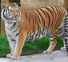Tiger - Noah's Ark Zoo Farm, Nr Bristol,UK by Dawn B Davies-McIninch