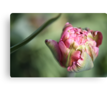 Opening Tulip Canvas Print