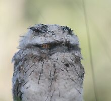 Tawny Frog Mouth baby by Greg Carrick
