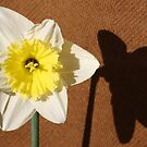Daffodil in Sun by Linda Sass