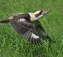 Flight of the Kookaburra by MaureenGoninan