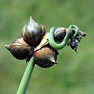 Wild Garlic by Len Bomba