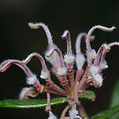 Grevillea by Andrew Trevor-Jones