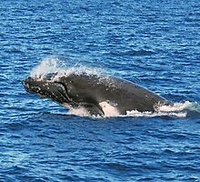 Humpback Whale, Hervey Bay, Queensland by Adrian Paul