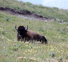 Lounging Buffalo by Alyce Taylor