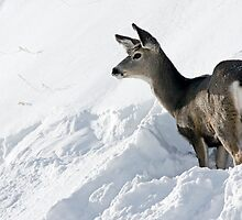 Doe Pausing In Deep Snow by A.M. Ruttle