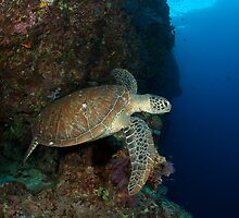 Green Turtle off the wall in Tubbataha by Hergen Spalink