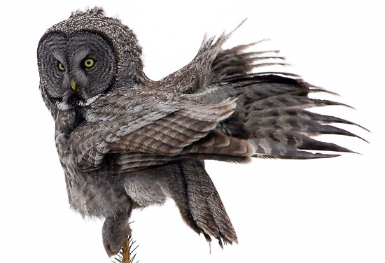 Great Grey Owl, Fluffing by A.M. Ruttle