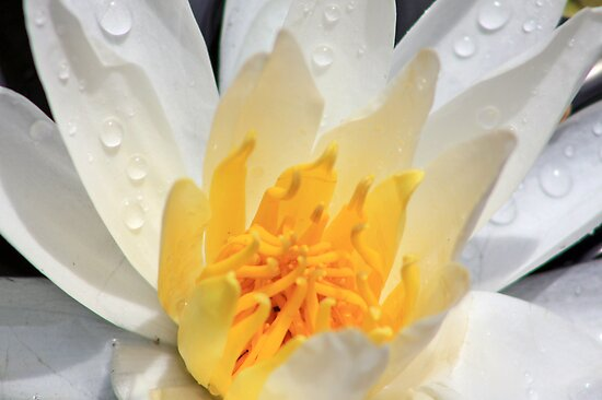 *WHITE FRAGRANT WATER LILY* by Van Coleman