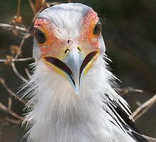 Secretary Bird by AndsonHarrison