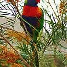 Rainbow Lorikeet by Tony Waite-Pullan