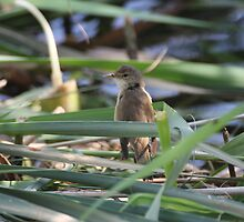Eurasian Reed Warbler by wccoyote