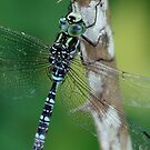 Canada Darner Resting On Shrub Stem (Closer) by Wolf Read