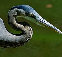 Great blue CU by Larry  Grayam