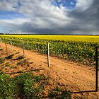 Canola field at Warracknabeal by Darren Stones