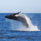 Showing Off, Humpback whale style, Hervey Bay, Queensland, Australia by Adrian Paul