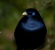 Bowerbird by margotk