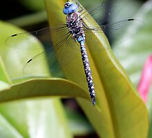 Blue-Eyed Darner on Magnolia Leaf by Wolf Read