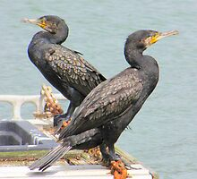 Cormorants by John Thurgood