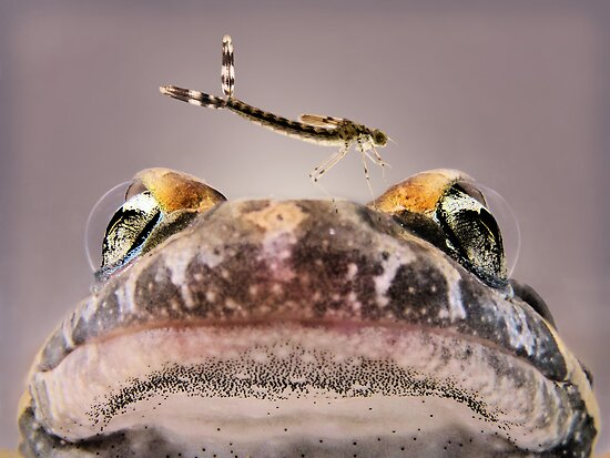 Frog and larva by jimmy hoffman