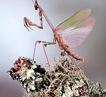Empusa pennata by jimmy hoffman
