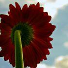 red gerbera by KimberlyClark