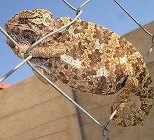 Chameleon: Brown Bradypodion by taiche