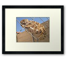Chameleon: Brown Bradypodion Framed Print