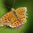 American Little Copper (Lycaena phlaeas) by loiteke