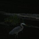 Night Heron by Z.S. Lewis