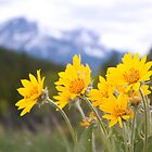 Arnica wild flowers by indykb