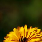 yellow calendula (2) by codaimages