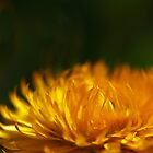 yellow calendula (3) by codaimages