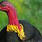Scrub turkey by feeee