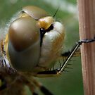 Variegated Meadowhawk, Immature Female, Close Crop of Eyes 1 by Wolf Read