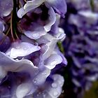 Wet Wisteria  by Greta  Hasler