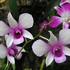 Orchids by rkoop