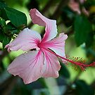 Pink Hibiscus by Cheryl  Lunde