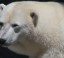 Polar Bear by VanillaDolphin