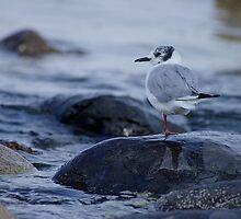 Bonaparte gull resting by Al Williscroft
