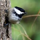 Black-Capped Chickadee on Side of Douglas-Fir by Wolf Read