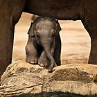 Baby Asian elephant peeks out  by Sheila  Smart