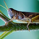 Brown Grasshopper by Pamela Hubbard