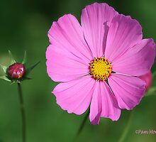 Pink Cosmos Flower by Pam Moore