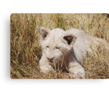 White Lion Cub Canvas Print