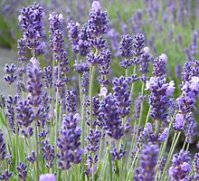Beautiful lavender flowers in full bloom by Susan Leonard