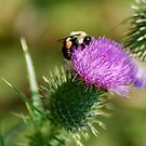 bee and thistle flower by Roslyn Lunetta