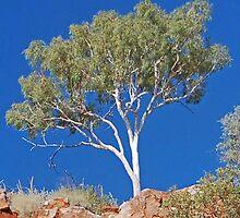 Ghost Gum, Ord River, Kununurra, Western Australia by Adrian Paul