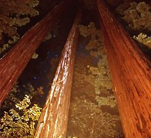 Tall Slender Redwoods by Adam Anderson